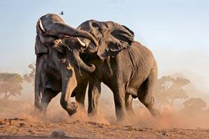 Третий слон. Половая доминанта