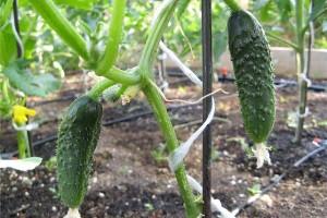 Бизнес-идея: выращивание огурцов